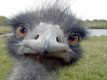 a-cacada-do-emu
